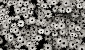 Preview wallpaper black white, flowers, grey, daisies