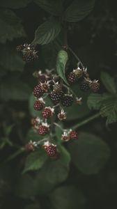 Preview wallpaper blackberry, raspberry, berries, macro, blur