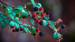 Preview wallpaper blackberry, raspberry, berry, branch, bush