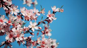 Preview wallpaper blossom, flower, pink, bright, blue