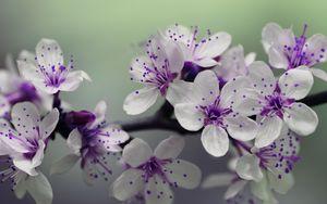 Preview wallpaper branch, flowering, cherry, spring