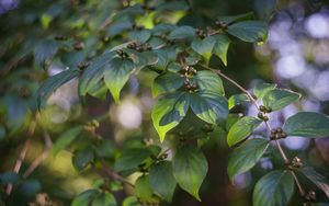 Preview wallpaper branch, leaves, berries, plant, green