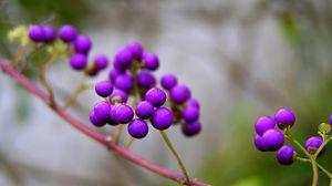 Preview wallpaper branch, nature, berries, violet, kallikarpa
