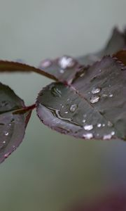 Preview wallpaper branch, rose, leaves, drops