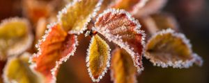 Preview wallpaper branches, leaves, frost