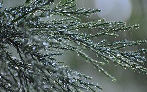 Preview wallpaper branches, needles, drops, macro, green