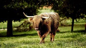 Preview wallpaper buffalo, bull, grass, walk, horn