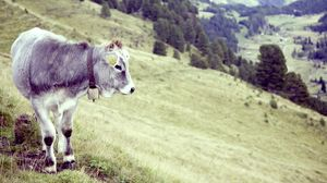 Preview wallpaper bull, cow, grass, valley