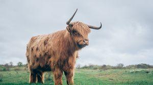 Preview wallpaper bull, horns, fur, grass