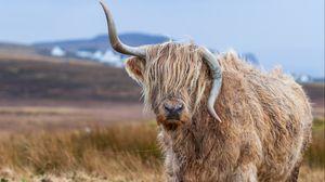 Preview wallpaper bull, horns, wool