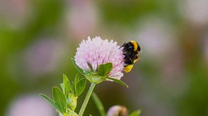 Preview wallpaper bumblebee, clover, flower, macro