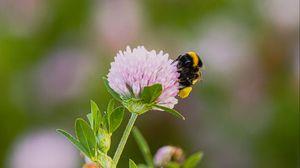 Preview wallpaper bumblebee, clover, flower, wildflower, macro