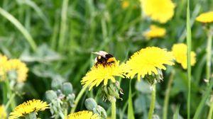 Preview wallpaper bumblebee, dandelion, pollination, grass, field