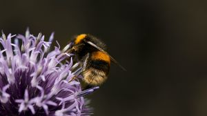 Preview wallpaper bumblebee, flower, insect, macro