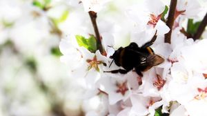 Preview wallpaper bumblebee, spring, bloom, branch