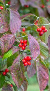 Preview wallpaper bush, berries, leaves, autumn, macro