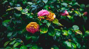 Preview wallpaper bush, flowers, pink, green, bloom, garden
