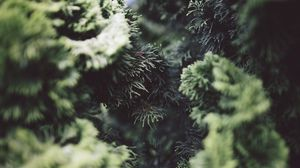 Preview wallpaper bush, pine needles, branches, close-up