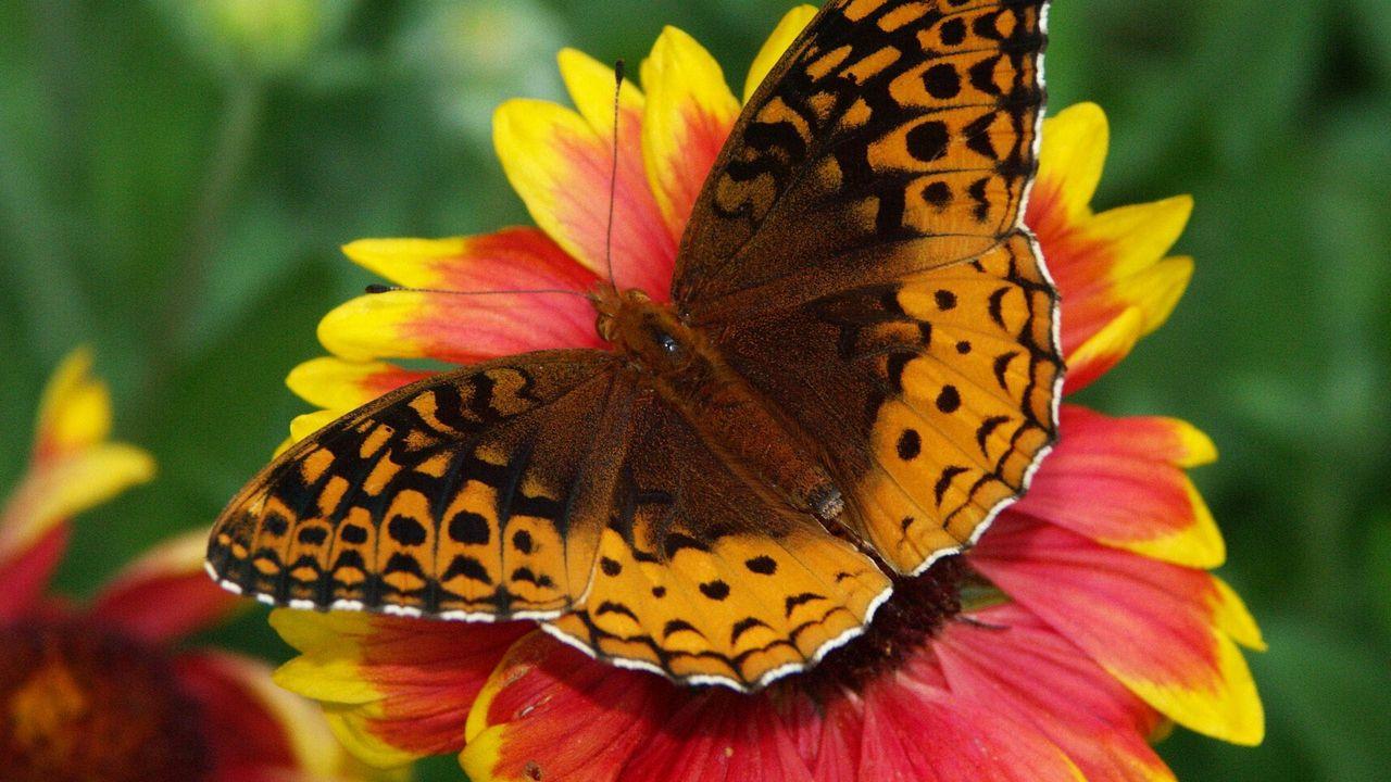 Wallpaper butterfly, flower, wings, close-up