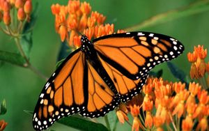 Preview wallpaper butterfly, flower, wings, patterns
