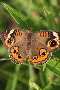 Preview wallpaper butterfly, insect, wings, grass, macro