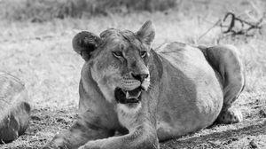 Preview wallpaper bw, lioness, big cat