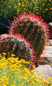 Preview wallpaper cactus, plant, needles, flowers