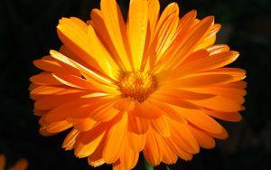 Preview wallpaper calendula, flower, macro, bright