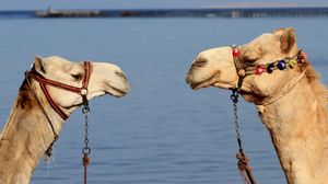 Preview wallpaper camels, couple, team, water