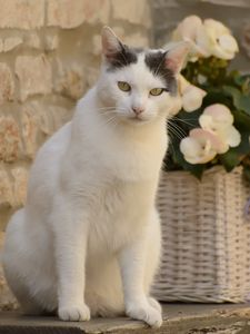 Preview wallpaper cat, animal, pet, glance, white