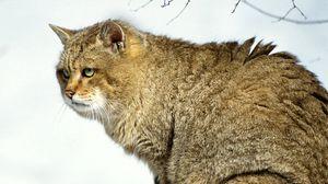 Preview wallpaper cat, big, bushy, wild