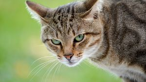 Preview wallpaper cat, face, anger, background