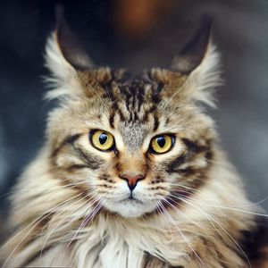 Preview wallpaper cat, face, furry, striped