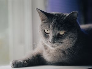 Preview wallpaper cat, pet, animal, glance, gray