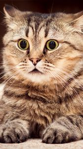 Preview wallpaper cat, surprise, look, striped