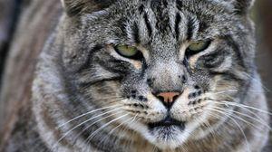 Preview wallpaper cat, wild, big, black, striped