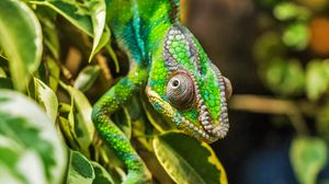 Preview wallpaper chameleon, color, camouflage, reptile