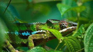 Preview wallpaper chameleon, leaves, bumps, legs, eyes