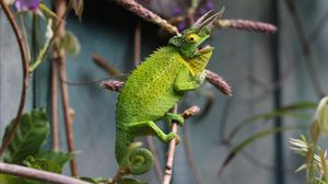 Preview wallpaper chameleon, reptile, branch, lizard