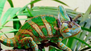 Preview wallpaper chameleon, reptile, color