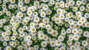 Preview wallpaper chamomile, field, flowers, flowerbed