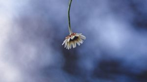 Preview wallpaper chamomile, flower, macro, minimalism