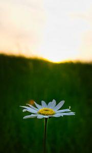 Preview wallpaper chamomile, flower, macro, minimalism, blur