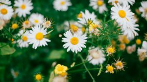 Preview wallpaper chamomile, flowers, bloom, field, blur