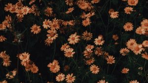 Preview wallpaper chamomile, flowers, bloom, plant