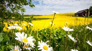 Preview wallpaper chamomile, flowers, field, landscape