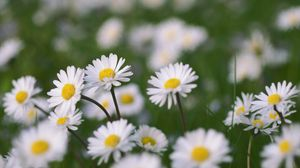 Preview wallpaper chamomile, flowers, field, macro