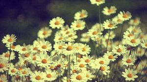 Preview wallpaper chamomile, flowers, field, white