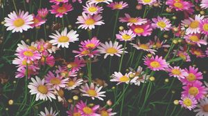 Preview wallpaper chamomile, flowers, flower bed, pink