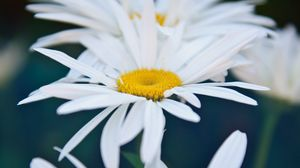 Preview wallpaper chamomile, flowers, white, bloom, closeup